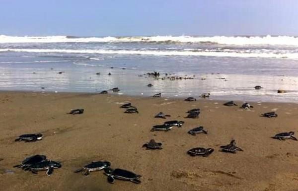 En 2020 están llegando más tortugas a playas del sur de Veracruz