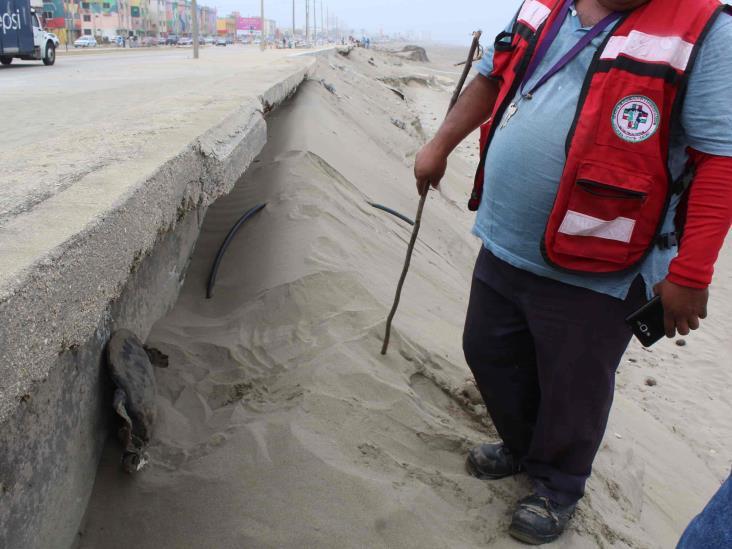 Aparecen dos tortugas muertas en playas de Coatzacoalcos
