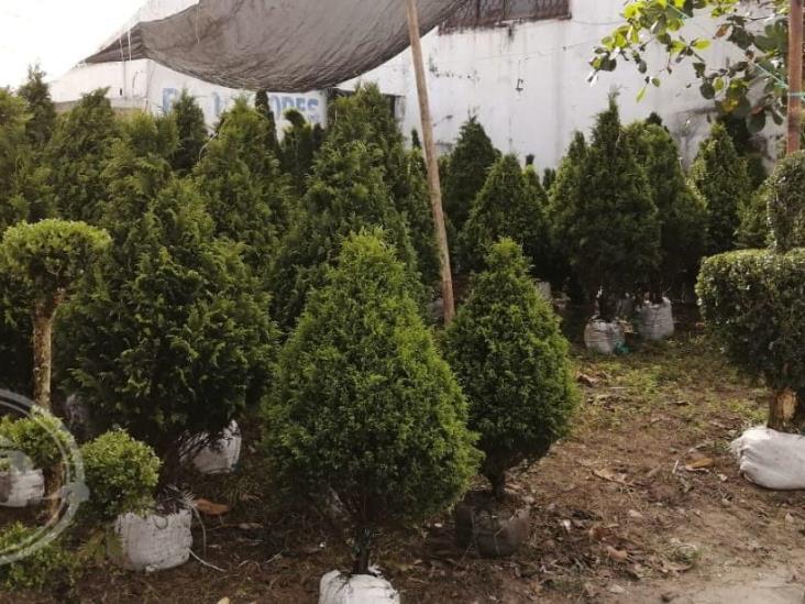 """Productores de pino del estado """"compiten"""" con supermercados"""