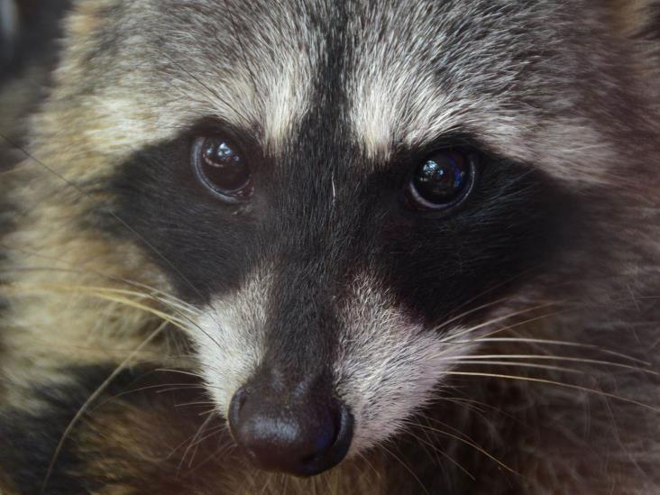 PC captura en Coatzacoalcos una boa y un mapache