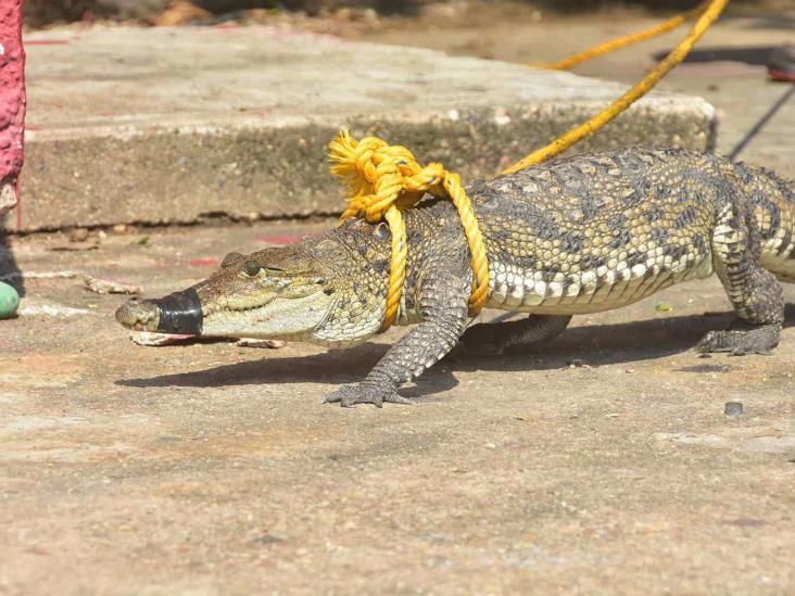 Capturan cocodrilo Moreleti en la colonia Santa Isabel