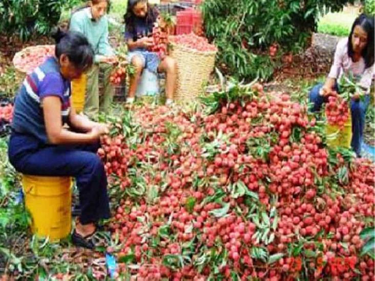 Se posiciona Veracruz como principal productor de litchi en el país