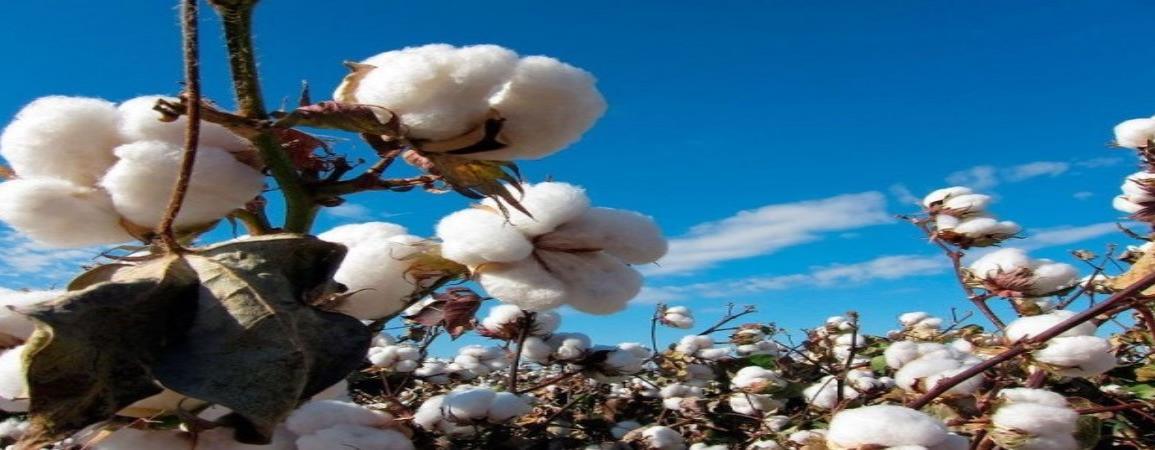 Invertirán México y EU 61 millones para erradicar picudo del algodonero