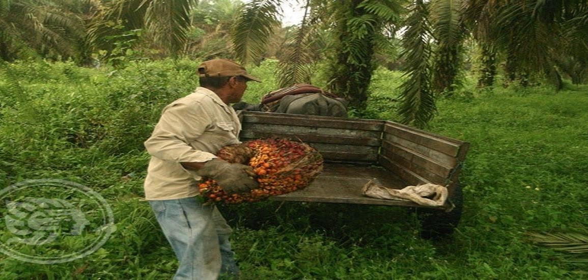 Campesinos se retirarán de la producción de palma de aceite