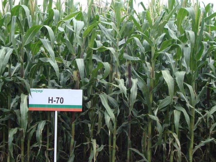 Híbrido de maíz aumentará la producción en Veracruz