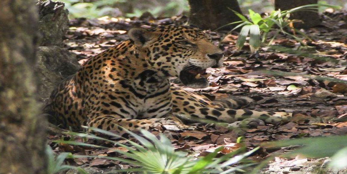 Advierten cacería del jaguar mexicano por contrabando de genitales en el mercado chino
