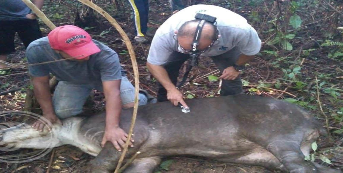 Atienden a tapir herido en reserva del Uxpanapa