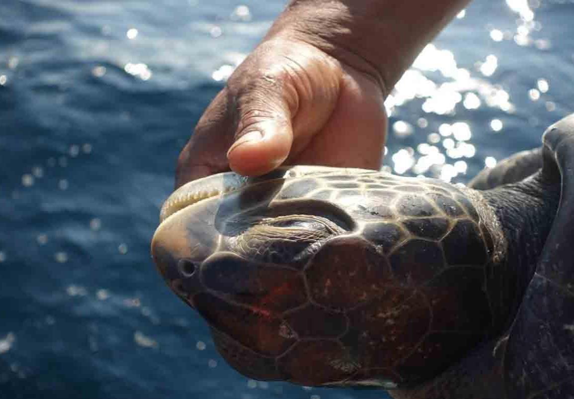 Liberan en México a tortugas intoxicadas por marea roja
