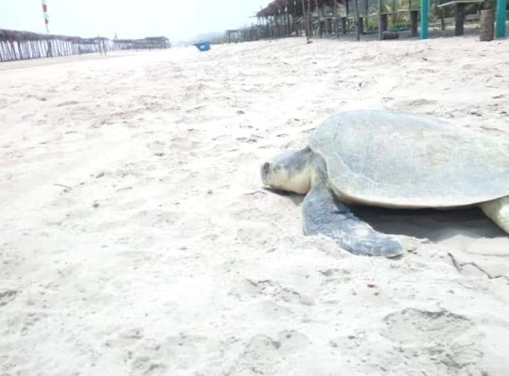 Sin recursos en Tuxpan para la protección de las tortugas