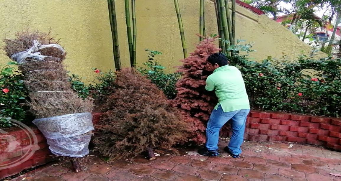 Recolectan 250 árboles en Quetzalli; del 10 de enero al 14 de febrero se logró esa cifra