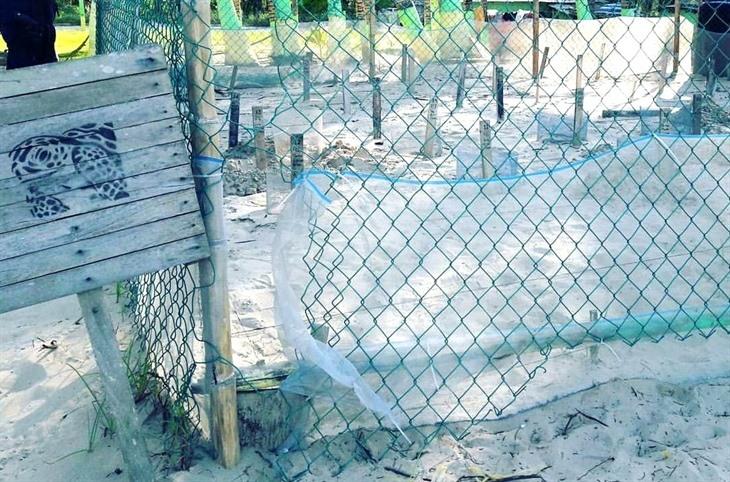 Urgen voluntarios para protección de tortugas en la zona norte