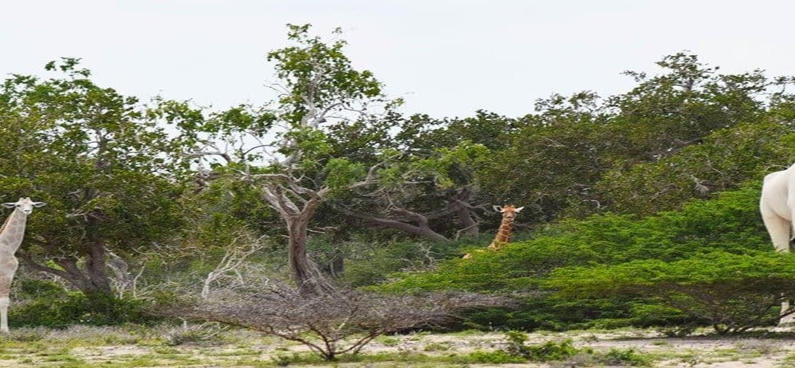 Cazadores matan jirafas blancas en santuario de Kenya; solo queda una