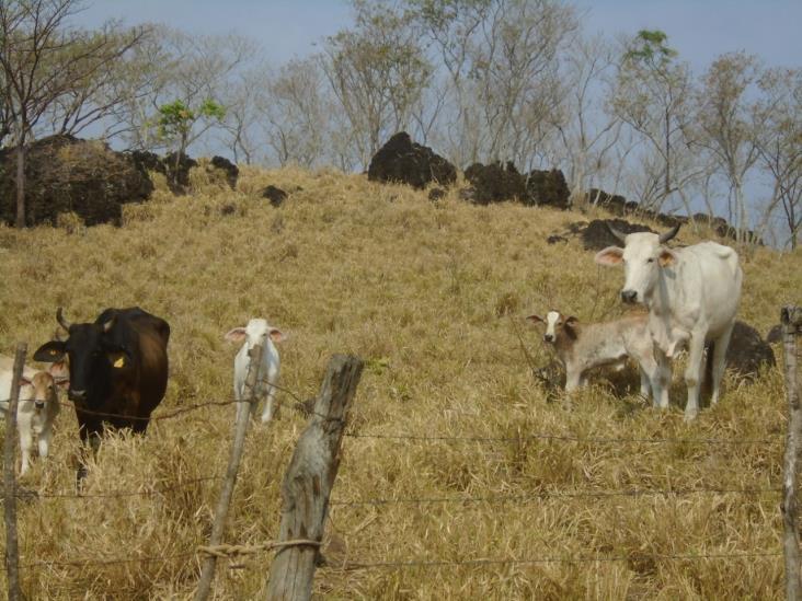 Hato ganadero con grandes pérdidas por derrengue  y carbonosa en Soteapan