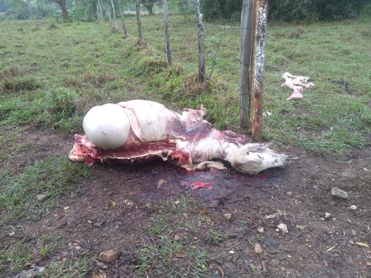 Carne de ganado robado se comercializa en límites de Veracruz y Tabasco