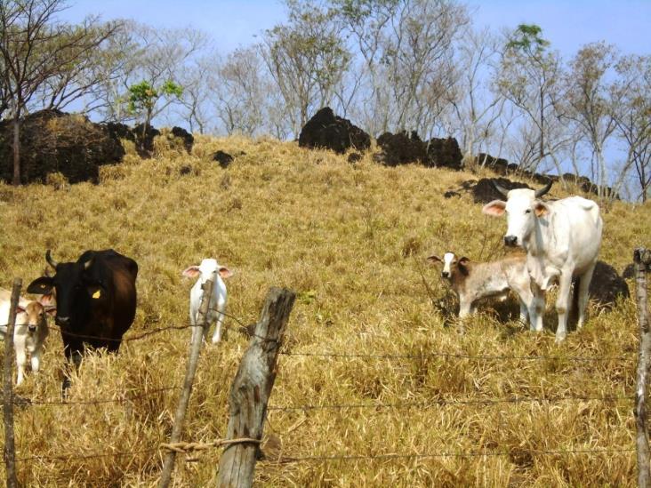 Por el Covid-19, baja un 60 % la compraventa de ganado en Cosoleacaque