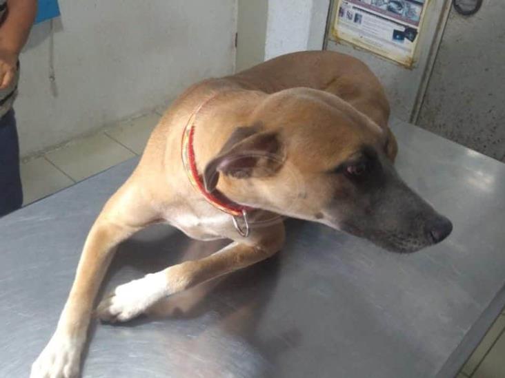 En Acayucan, rescatan a perrita que era abusada sexualmente por un hombre