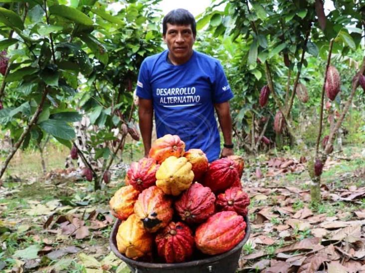 Campesinos de Mecayapan buscan mercado para la venta de Cacao