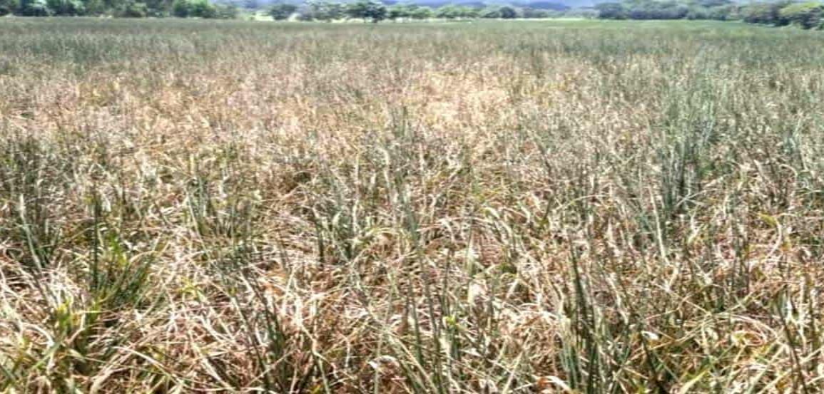 Lluvias en Tuxpan un respiro para productores ante sequía