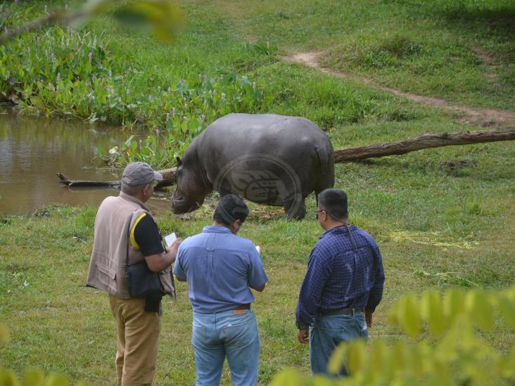 Buscan reproducir a Tyson, hipopótamo rescatado en Las Choapas