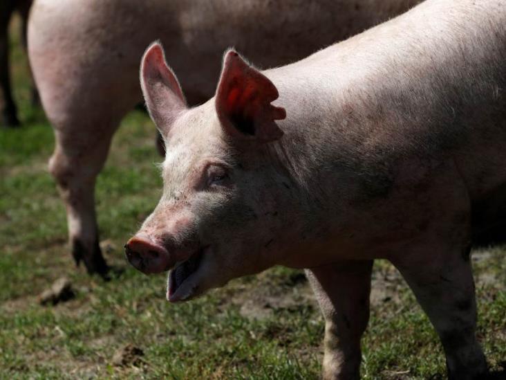 China aclara que gripe porcina G4 no es nueva y no infecta a humanos fácilmente