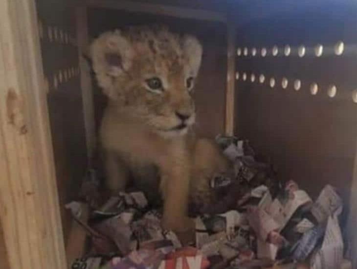 Guardia Nacional rescata a león africano y a tigre de bengala