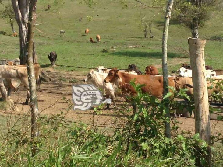 Se dispara el robo de ganado en el sur de Veracruz