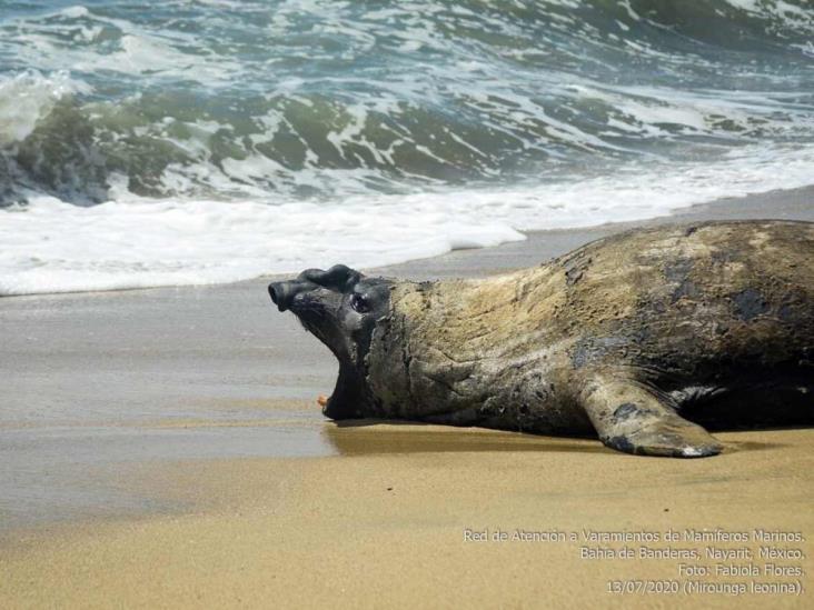 Reaparece ´Panchito´, el elefante marino que llegó a Nayarit