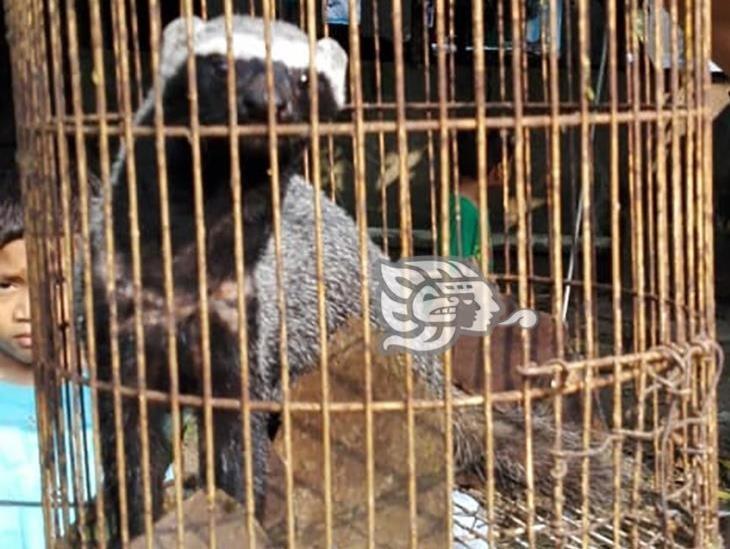 Atrapan un hurón en Agua Dulce; acechaba a mascotas y gallinas