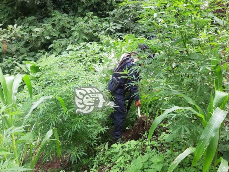 SSP localiza plantío de mariguana en Chiconquiaco
