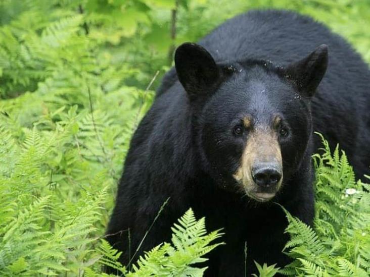 Profepa ordena investigación por la castración de oso de Chipinque