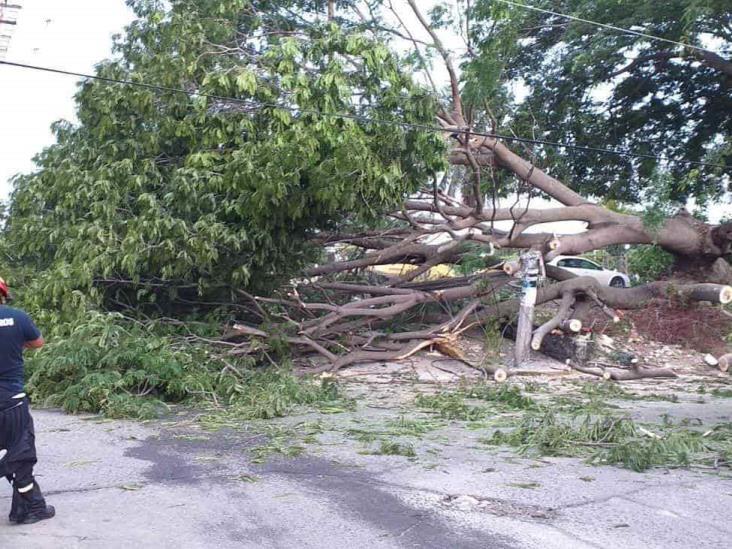 Cae árbol de 15 metros de altura en fraccionamiento de Veracruz