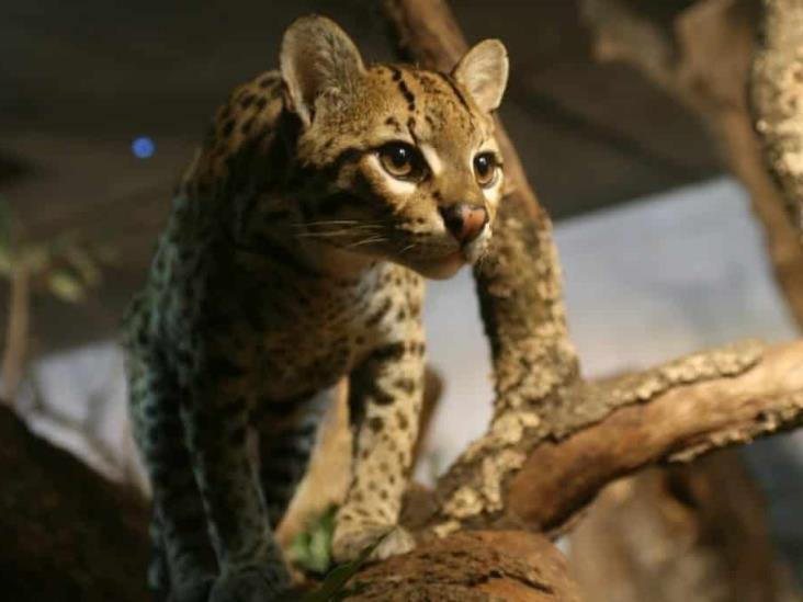 CIOAC amenaza a 37 especies en Veracruz; realiza caza furtiva, acusan