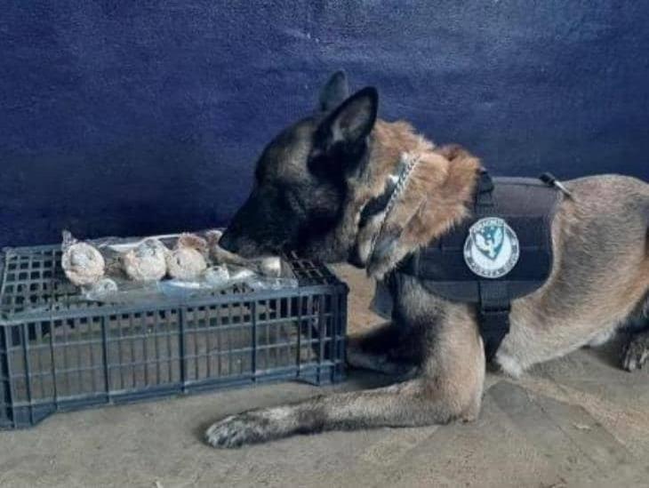Agentes caninos detectan droga en CAXA y CERESO de Pacho Viejo