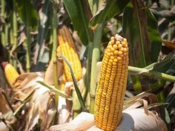 Prohibirá AMLO maíz transgénico en los próximos días