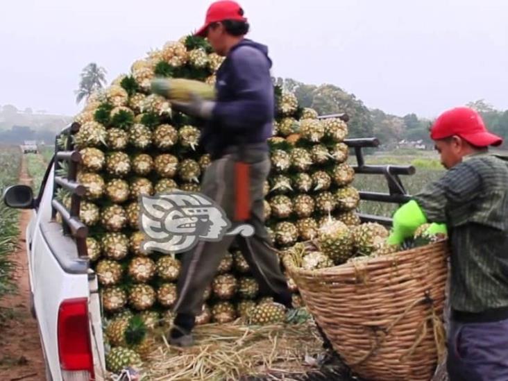 """Con """"sembrando vida"""", empiezan a levantar buena cosecha de piña"""