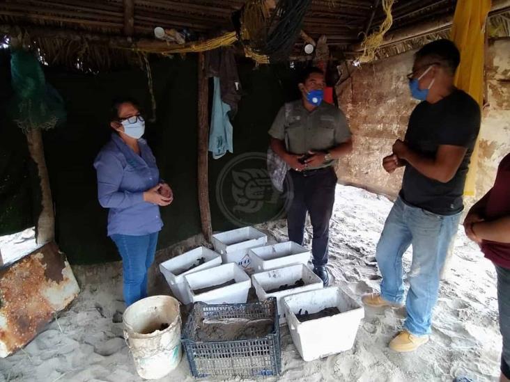 Liberan 88 tortugas en la playa del ejido Guillermo Prieto
